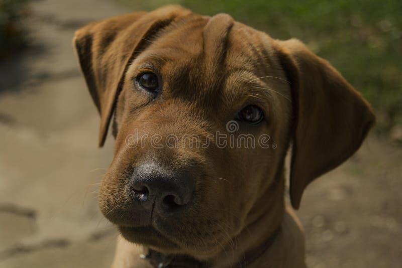 Σκυλί ο Charlie 2 στοκ εικόνα
