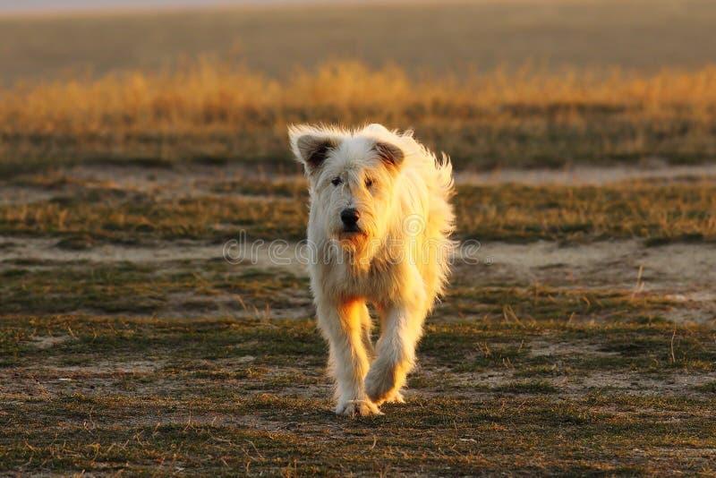 Σκυλί ποιμένων που πλησιάζει τη κάμερα στοκ φωτογραφία με δικαίωμα ελεύθερης χρήσης
