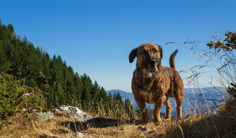 Σκυλί ποιμένων ` s βουνά στοκ εικόνα με δικαίωμα ελεύθερης χρήσης