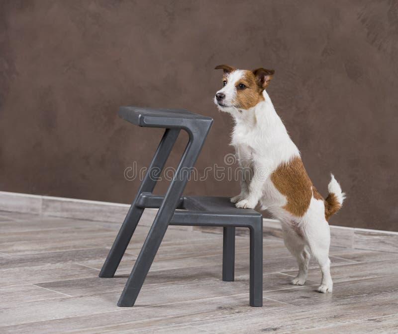 Σκυλί πορτρέτου τεριέ του Jack Russell φυλής σκυλιών σε ένα BA χρώματος στούντιο στοκ εικόνα με δικαίωμα ελεύθερης χρήσης