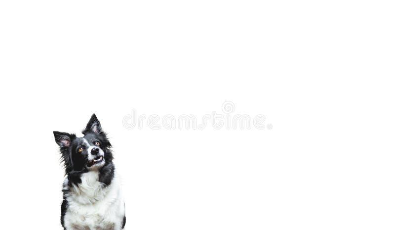 σκυλί που ανατρέχει Γραπτό κόλλεϊ συνόρων στο άσπρο υπόβαθρο στοκ εικόνες