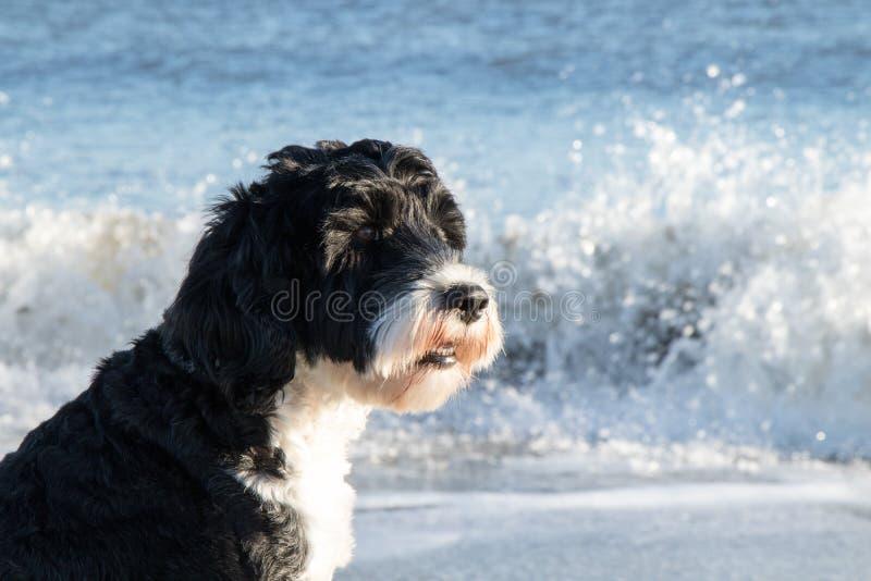 Σκυλί που απολαμβάνει τα wavs στην παραλία στοκ εικόνες