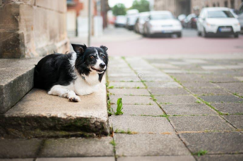 Σκυλί που βρίσκεται στα σκαλοπάτια σπιτιών Γραπτό κόλλεϊ συνόρων που περιμένει στην οδό μπροστά από το σπίτι στοκ φωτογραφίες
