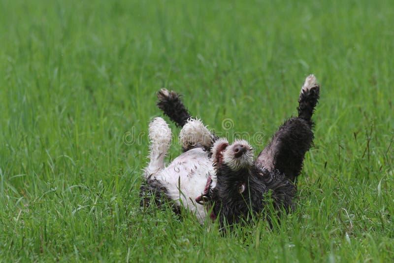 Σκυλί που κυλά στη χλόη στην άνοιξη στοκ φωτογραφία με δικαίωμα ελεύθερης χρήσης