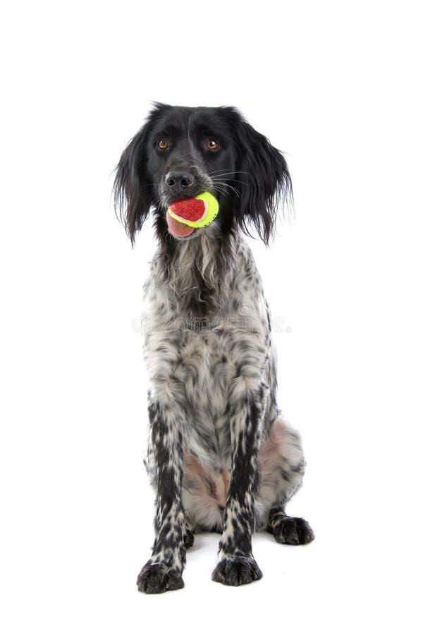 σκυλί που κυνηγά munsterlander στοκ εικόνες