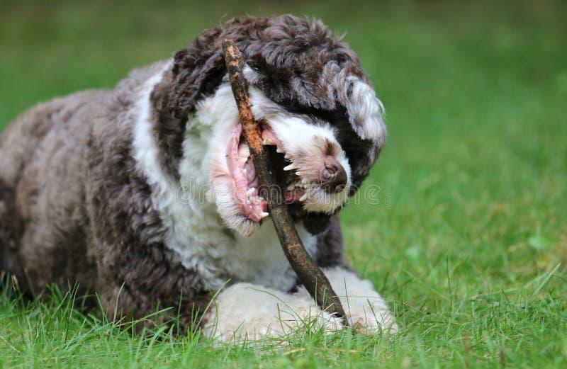 Σκυλί που μασά ένα ραβδί στοκ φωτογραφία με δικαίωμα ελεύθερης χρήσης