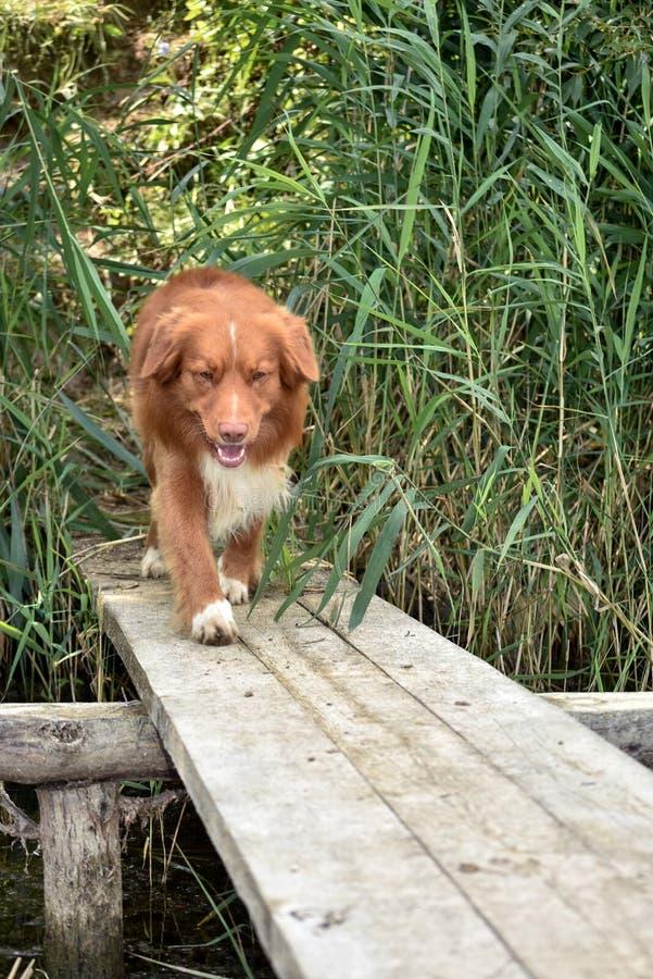 Σκυλί που περπατά σε μια ξύλινη γέφυρα στοκ εικόνα