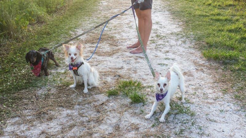 Σκυλί που περπατά τρία σκυλιά στη διάβαση πεζών στοκ εικόνα