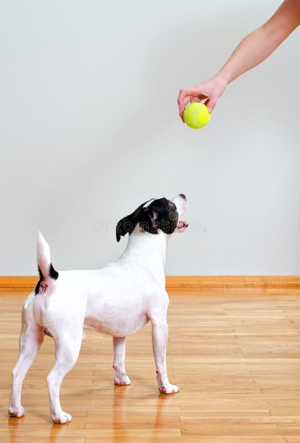 Σκυλί που πηγαίνει να παίξει με τη σφαίρα στοκ εικόνες