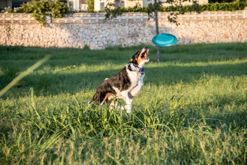 Σκυλί που πηδά πίσω από ένα frisbee στοκ εικόνες