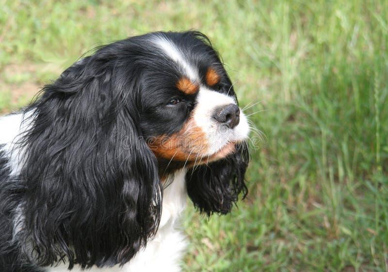 Σκυλί που σκέφτεται για το μέλλον Αλαζόνας βασιλιάς Charles SP Tricolor στοκ εικόνες με δικαίωμα ελεύθερης χρήσης