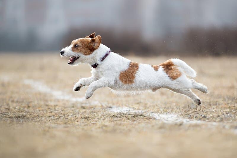 Σκυλί που τρέχει και που παίζει τεριέ του Russell γρύλων στοκ εικόνα
