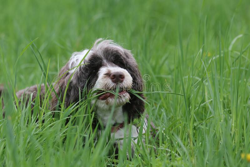 Σκυλί που τρώει τη χλόη στην άνοιξη στοκ εικόνα με δικαίωμα ελεύθερης χρήσης