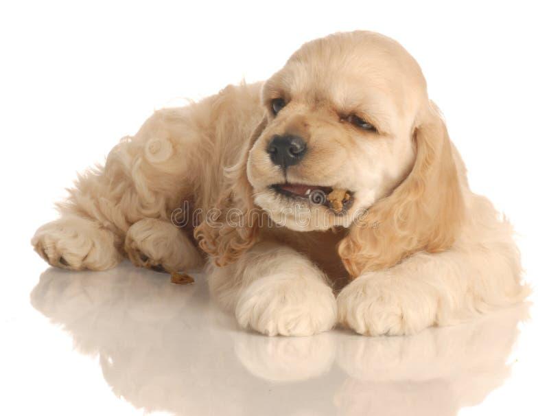 σκυλί που τρώει το κουτά& στοκ εικόνα