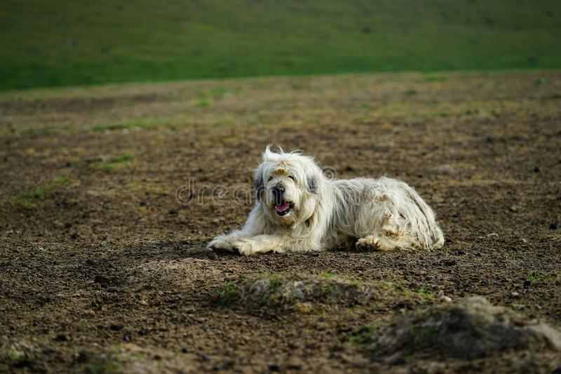 Σκυλί προβάτων στο λιβάδι στοκ εικόνες