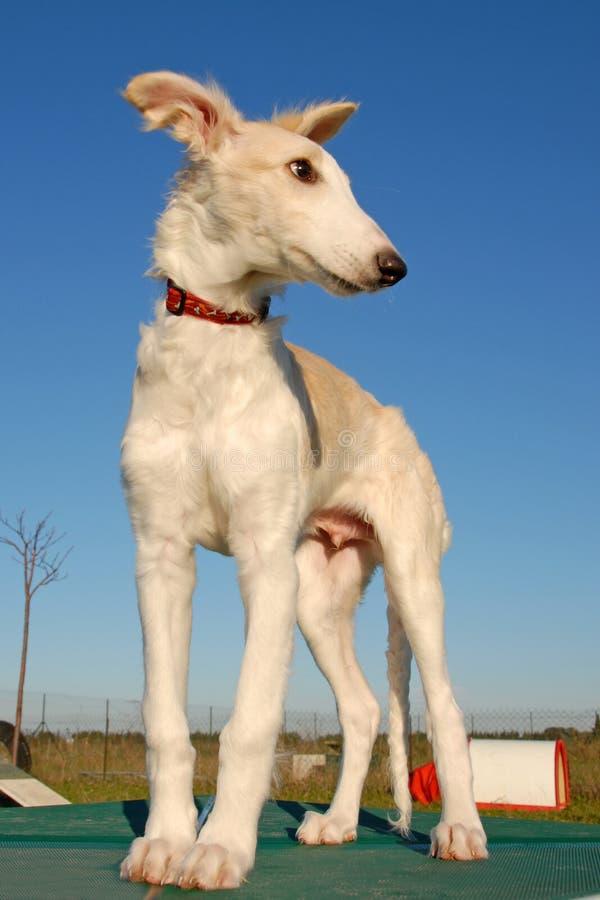 σκυλί ρωσικά borzoi στοκ εικόνες