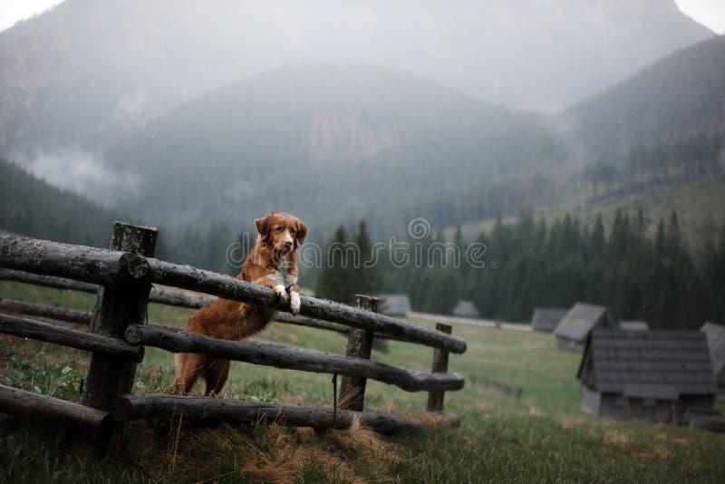 Σκυλί στα βουνά στην ατμόσφαιρα ομίχλης κοιλάδων Retriever διοδίων παπιών της Νέας Σκοτίας στοκ εικόνες με δικαίωμα ελεύθερης χρήσης