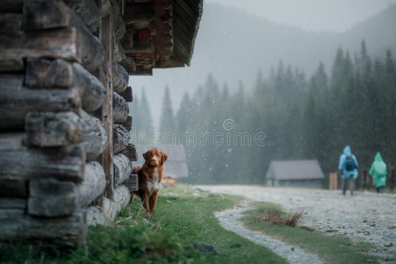 Σκυλί στα βουνά στην ατμόσφαιρα ομίχλης κοιλάδων Retriever διοδίων παπιών της Νέας Σκοτίας στοκ εικόνες