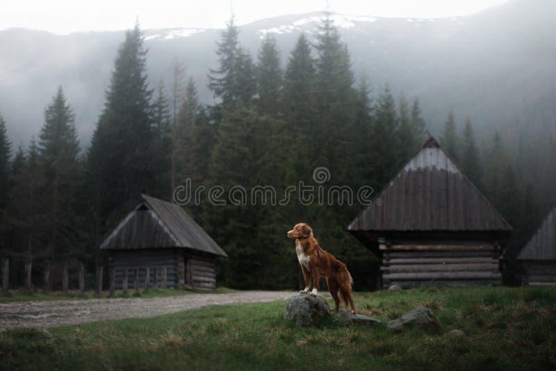 Σκυλί στα βουνά στην ατμόσφαιρα ομίχλης κοιλάδων Retriever διοδίων παπιών της Νέας Σκοτίας στοκ εικόνα με δικαίωμα ελεύθερης χρήσης