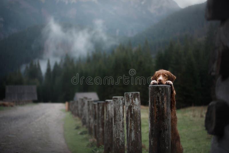 Σκυλί στα βουνά στην ατμόσφαιρα ομίχλης κοιλάδων Retriever διοδίων παπιών της Νέας Σκοτίας στοκ φωτογραφία με δικαίωμα ελεύθερης χρήσης