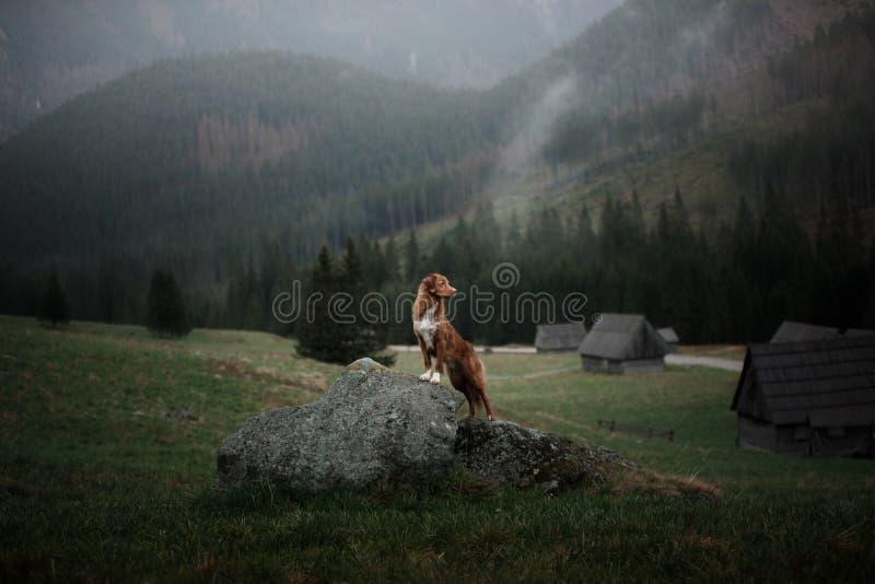 Σκυλί στα βουνά στην ατμόσφαιρα ομίχλης κοιλάδων Retriever διοδίων παπιών της Νέας Σκοτίας στοκ φωτογραφίες