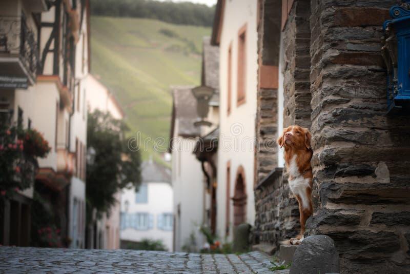 Σκυλί στην παλαιά πόλη, ταξίδι Retriever διοδίων παπιών της Νέας Σκοτίας που φαίνεται έξω πόλη στοκ εικόνες με δικαίωμα ελεύθερης χρήσης