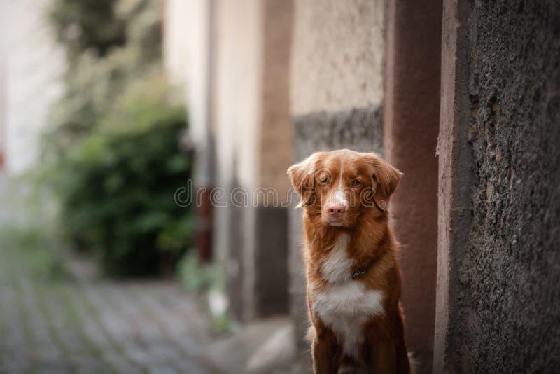 Σκυλί στην παλαιά πόλη, ταξίδι Retriever διοδίων παπιών της Νέας Σκοτίας που φαίνεται έξω πόλη στοκ φωτογραφίες