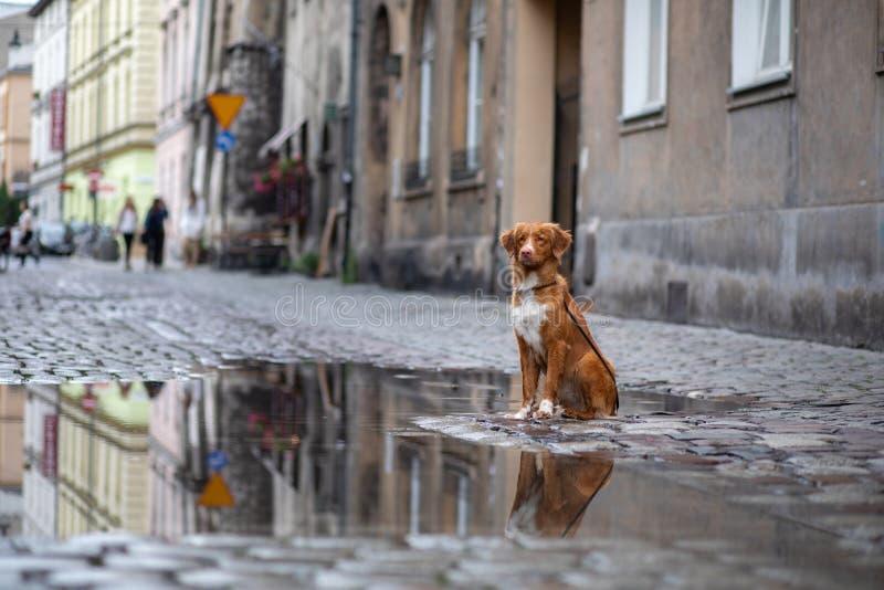 Σκυλί στην παλαιά πόλη, ταξίδι Retriever διοδίων παπιών της Νέας Σκοτίας που φαίνεται έξω πόλη στοκ φωτογραφία με δικαίωμα ελεύθερης χρήσης