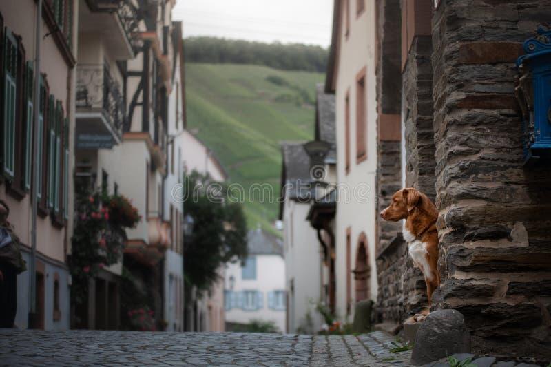 Σκυλί στην παλαιά πόλη, ταξίδι Retriever διοδίων παπιών της Νέας Σκοτίας που φαίνεται έξω πόλη στοκ φωτογραφία
