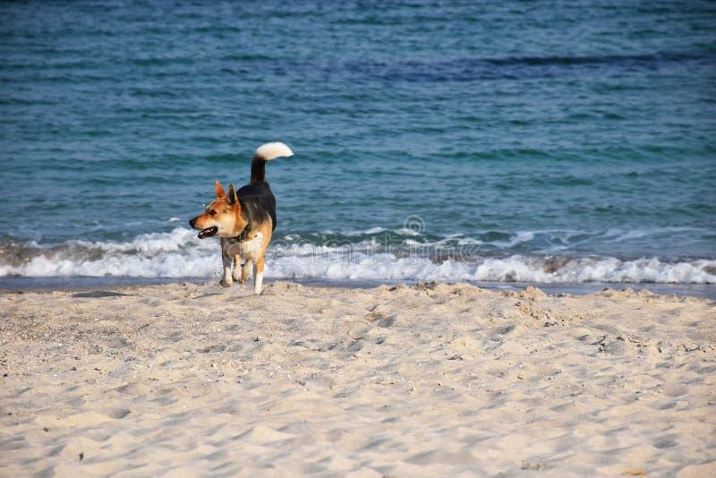 Σκυλί στον περίπατο παραλιών κοντά στη θάλασσα στοκ εικόνα