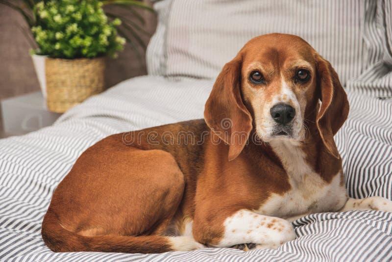 Σκυλί στο κρεβάτι ή τον καναπέ ιδιοκτητών Οκνηρός κουρασμένος σκυλί ύπνος λαγωνικών ή να ξυπνήσει Στήριξη σκυλιών στοκ φωτογραφία με δικαίωμα ελεύθερης χρήσης