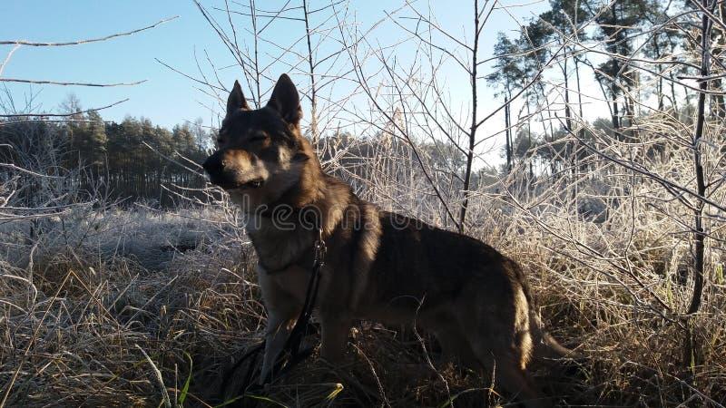 Σκυλί στο παγωμένο δάσος στοκ φωτογραφίες