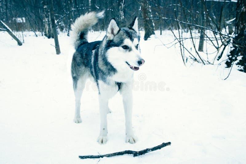 Σκυλί στο χειμερινό δασικό παιχνίδι με ένα ραβδί στοκ εικόνες
