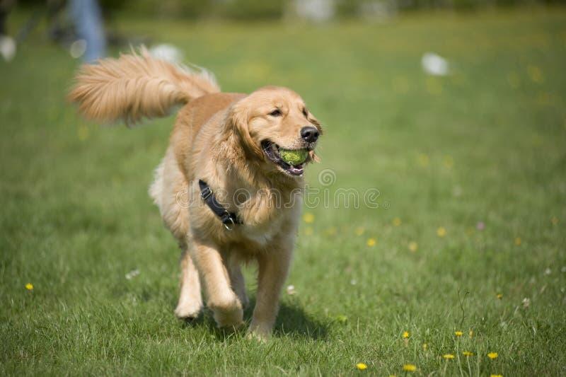 σκυλί σφαιρών στοκ φωτογραφίες με δικαίωμα ελεύθερης χρήσης
