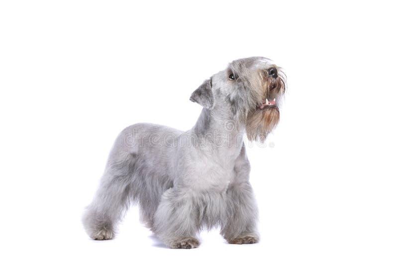 Σκυλί τεριέ Cesky στοκ φωτογραφία με δικαίωμα ελεύθερης χρήσης