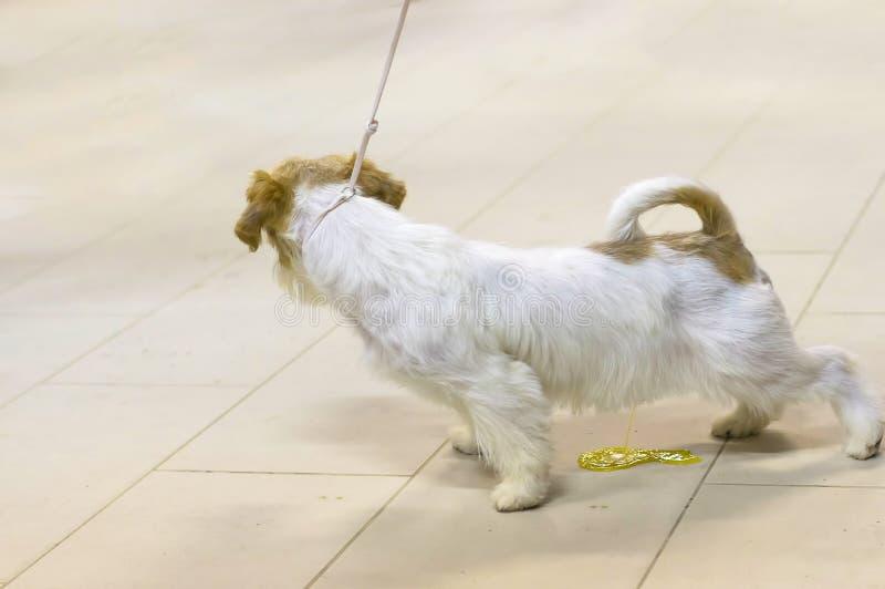 Σκυλί της κινηματογράφησης σε πρώτο πλάνο τεριέ στοκ εικόνες με δικαίωμα ελεύθερης χρήσης