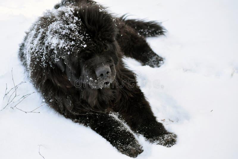 Σκυλί της νέας γης που βρίσκεται στο χιόνι στοκ εικόνα