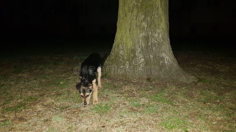 Σκυλί τη νύχτα στοκ φωτογραφία με δικαίωμα ελεύθερης χρήσης