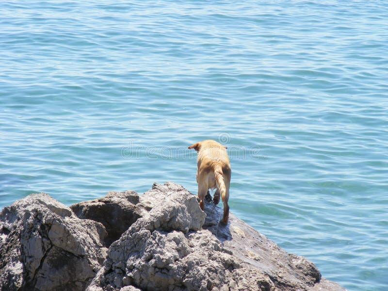 Σκυλί του Λαμπραντόρ σε έναν βράχο που εξετάζει έξω την μπλε θάλασσα στοκ εικόνα με δικαίωμα ελεύθερης χρήσης