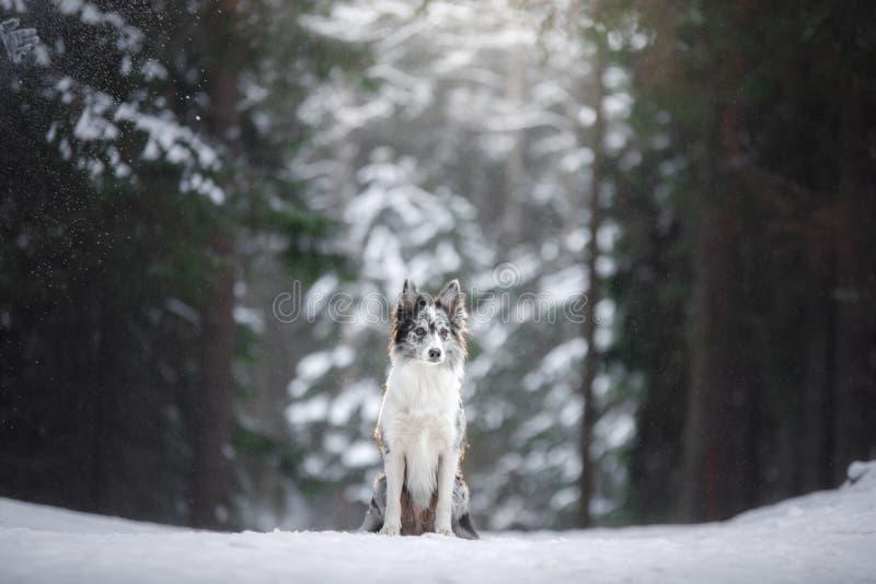 Σκυλί το χειμώνα από τα δέντρα Pet στις χιονοπτώσεις Κόλλεϊ συνόρων στη φύση στοκ φωτογραφίες
