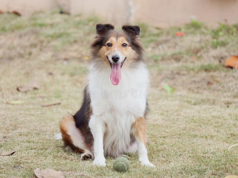 Σκυλί, τσοπανόσκυλο Shetland, κόλλεϊ, φιλικό σκυλί που εξετάζει τη κάμερα με την ευτυχή και πιστή έκφραση στοκ φωτογραφία με δικαίωμα ελεύθερης χρήσης