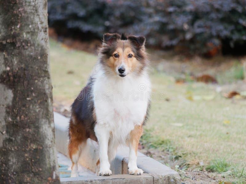 Σκυλί, τσοπανόσκυλο Shetland, κόλλεϊ, φιλικό σκυλί που εξετάζει τη κάμερα με την ευτυχή και πιστή έκφραση στοκ εικόνα με δικαίωμα ελεύθερης χρήσης