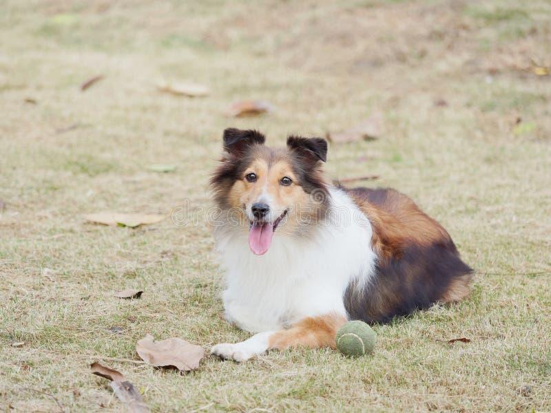 Σκυλί, τσοπανόσκυλο Shetland, κόλλεϊ, φιλικό σκυλί που εξετάζει τη κάμερα με την ευτυχή και πιστή έκφραση στοκ εικόνες