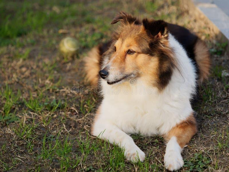 Σκυλί, τσοπανόσκυλο Shetland, κόλλεϊ, φιλικό σκυλί που κοιτάζει μακριά με την ευτυχή και πιστή έκφραση στοκ φωτογραφία