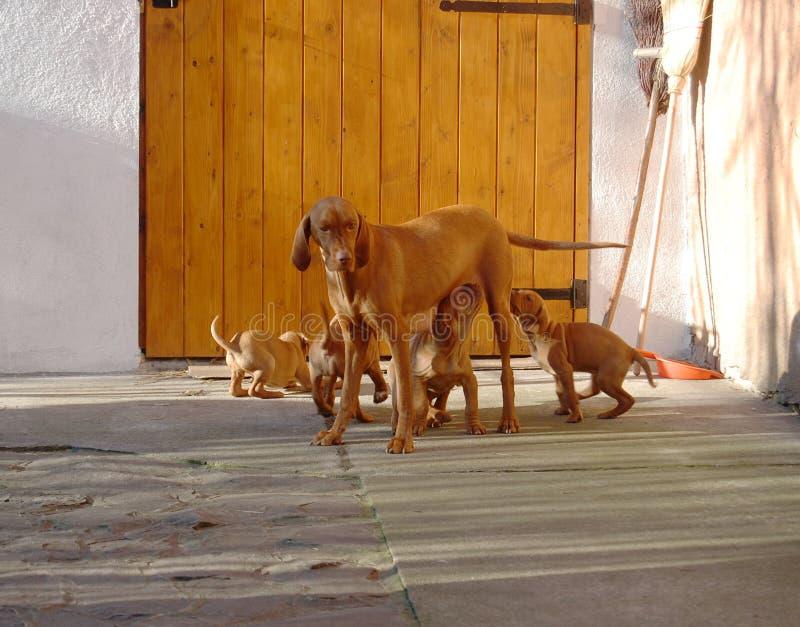 Σκυλί των ουγγρικών ταΐζοντας κουταβιών vyzhla στο ναυπηγείο στοκ φωτογραφία