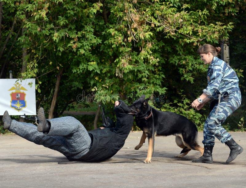 Σκυλί υπηρεσιών κατάρτισης για τη κράτηση ενός οπλισμένου εγκληματία στοκ εικόνες