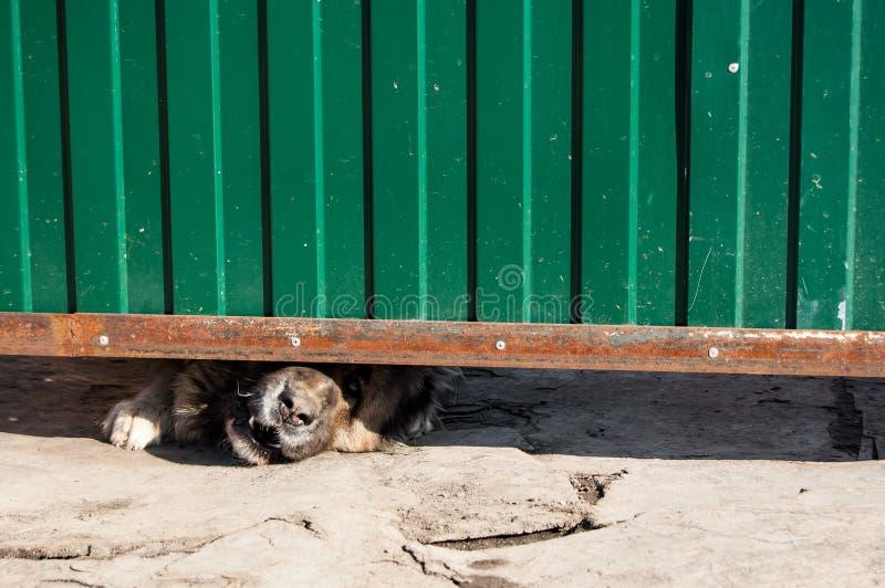 Σκυλί φρουράς stucks το ρύγχος του μεταξύ του εδάφους και της πύλης στοκ φωτογραφίες με δικαίωμα ελεύθερης χρήσης