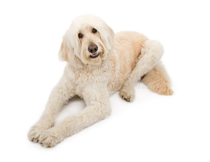 σκυλί χρώματος βερίκοκων doodle χρυσό στοκ φωτογραφία