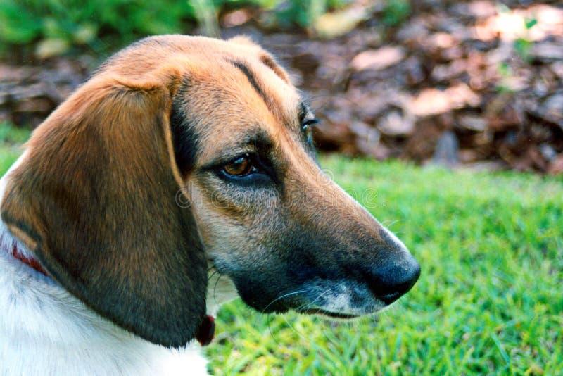 Download σκυλί χρώματος στοκ εικόνες. εικόνα από canines, μίγμα, ζωικός - 51426