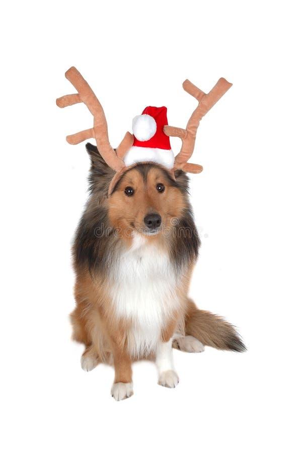 Download σκυλί 2 ελαφιών Χριστουγέ στοκ εικόνες. εικόνα από πορτρέτο - 395512